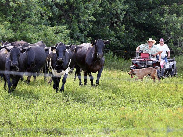 Naha Jumper, 41, and his father, Moses, 64, chase after some uncooperative animals who keep retreating into the woods. Florida cattle are shy, and face dangers like bears and even panthers.