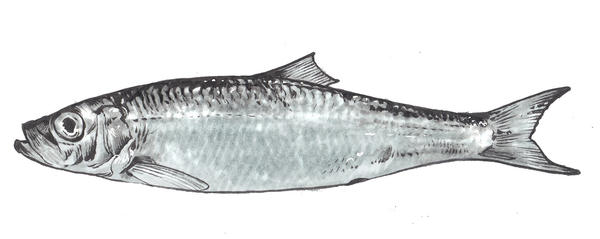The Pacific herring. Lombard advises using cast nets to catch this fish during its spawning season in the winter.