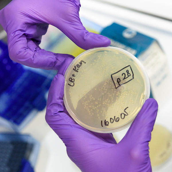 Christian Choe seals a plate with <em>E. coli </em>bacteria that contain a ring of genetic material to produce the antibiotic protein.