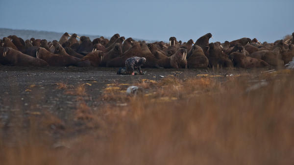 A USGS wildlife biologist works with walruses resting on shore near Point Lay, Alaska. Large haulouts at Point Lay in recent years are unusual in terms of their timing, location and number, the Fish and Wildlife Service says, and are probably tied to global climate change and decreasing sea ice.