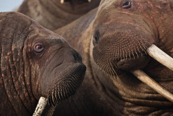 """Walruses are very social animals. """"They feel best when they're directly in contact with another walrus,"""" says biologist Anthony Fischbach. """"There's this constant communication they have that says, 'there's a walrus next to me, I'm OK.' """""""