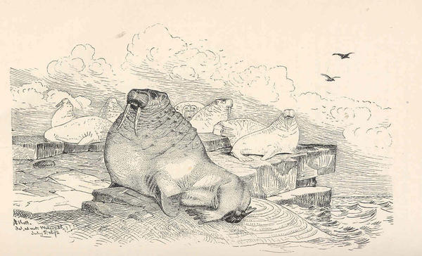 """""""An Old Walrus, Or 'Morse' """" was drawn by Henry Wood Elliott in 1872. He included it in his book <em>Our Arctic Province, </em>next to a description of a walrus haulout in Alaska's Punuk Islands in 1874."""