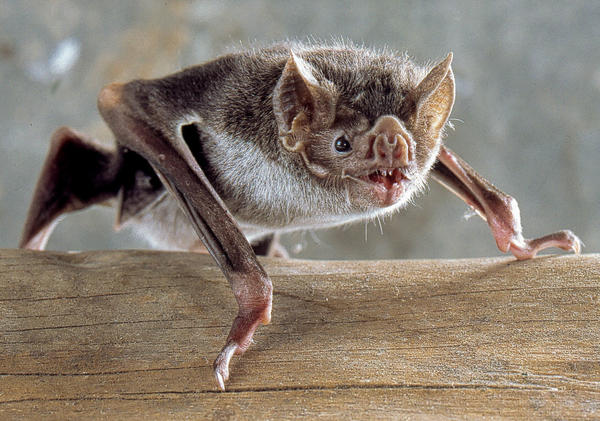 Vampire bats are the only bats that can run on all fours, and they do it by running on their thumbs!