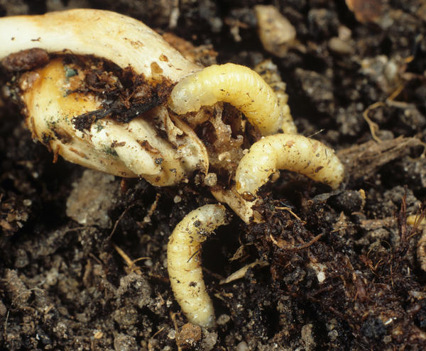 Corn rootworm beetle larvae feed on maize root and seed.