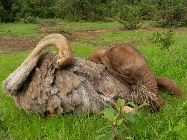 Pea the ostrich enjoys the company of elephants such as Jotto at the David Sheldrick Wildlife Trust in Kenya.
