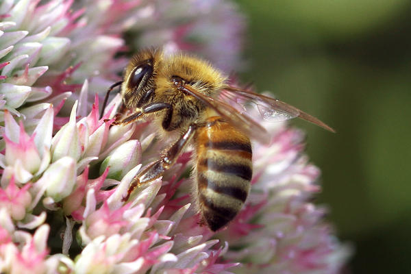 """Pesticides called """"neonics"""" are popular among farmers, but also have been blamed for killing bees. In Canada, the province of Ontario is trying to crack down on neonics, with mixed results."""