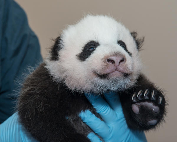 Bao Bao was born in 2013, only the second surviving baby panda ever born at the National Zoo.