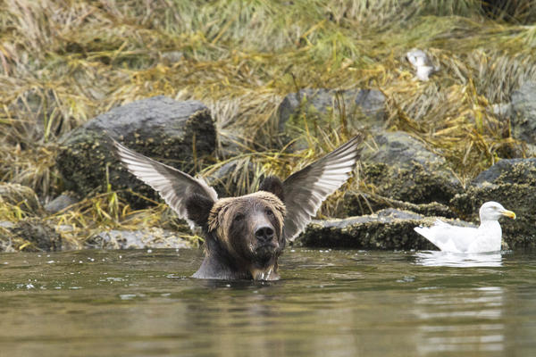 A bear appears to have wings growing from its head in September 2015.<br /><br /><br />