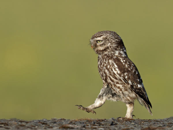 A wild owl appears to be marching in a very serious manner, Lancashire, U.K., in June 2011.<br /><br /><br />