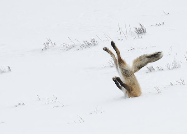 A tough day at the office for this fox in Yellowstone National Park in December 2015.<br /><br /><br /><br />