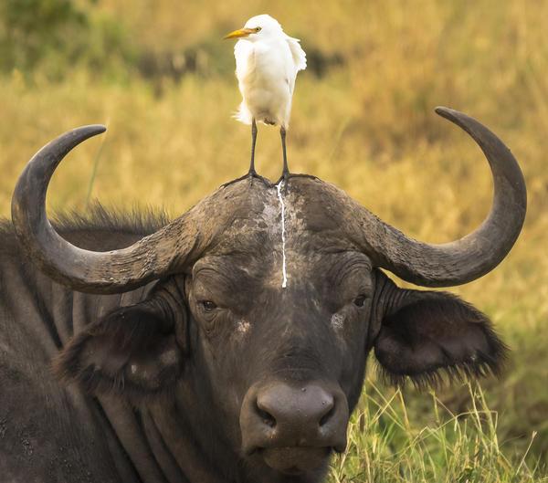 Portrait of an unfortunate buffalo in Meru National Park, Kenya, in July.<br /><br /><br />
