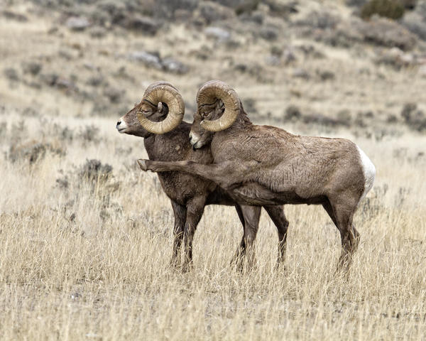 Bighorn rams exhibiting attitudes during the rut, Gardiner, Mont., in December 2014.<br /><br />