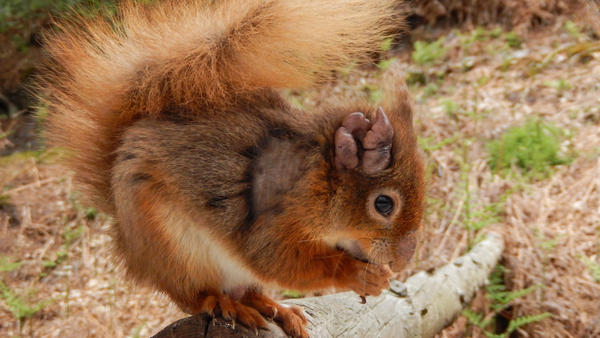 This red squirrel has the disfiguring sores of leprosy on its ear.