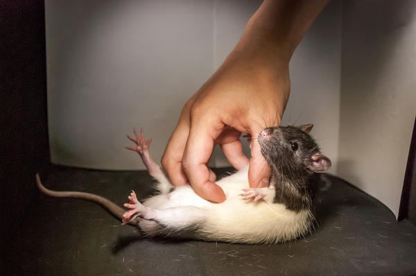 When in a playful mood, rats like a gentle tickle as much as the next guy, researchers find.