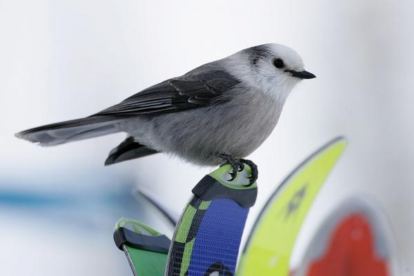 A gray jay sits on the tips of skis in 2006 in Avon, Colo.