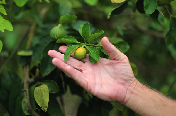 "Guy Davies, an inspector of the Florida Division of Plant Industry, holds an orange that is showing signs of ""citrus greening"" disease. It's caused by an insect that carries the bacterium causing the disease."