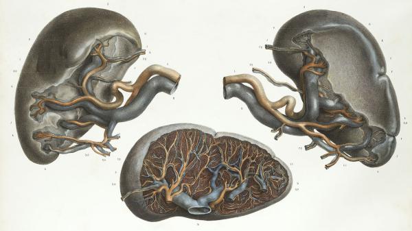 The spleen, shown in the 19th-century French anatomy atlas, <em>Traite Complet de L'Anatomie de L'Homme. </em>