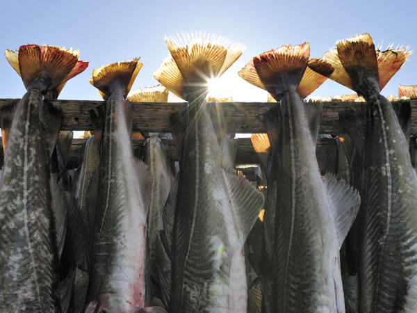 Whitefish, such as cod, was traditionally dried on outdoor racks. But now the fish is dried in sanitary rooms.