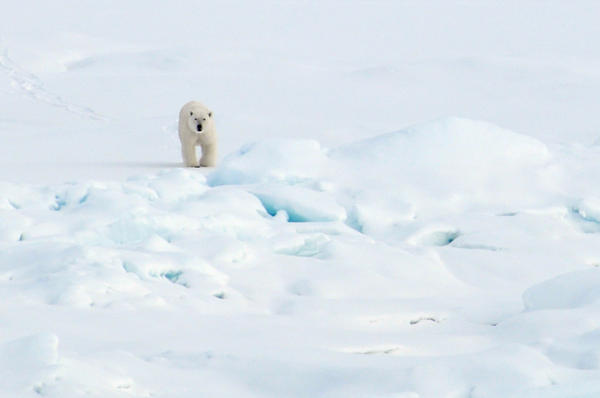 A polar bear walks on the Arctic Ocean ice in 2009. (U.S. Geological Survey via Flickr)
