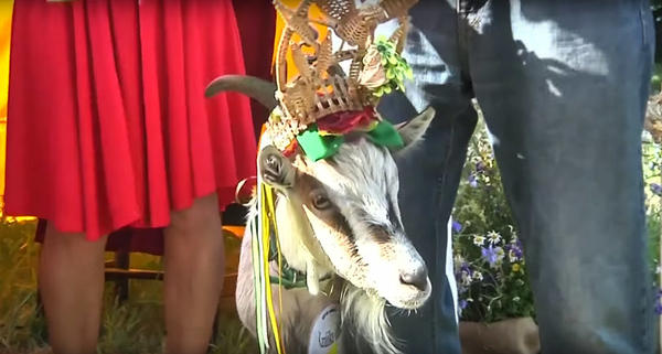 """Demyte """"Little Spot"""" was crowned the winner of Lithuania's goat beauty contest."""