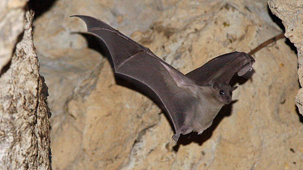 An Egyptian fruit bat flies in an abandoned quarry near the village of Mammari, Cyprus, in 2007.