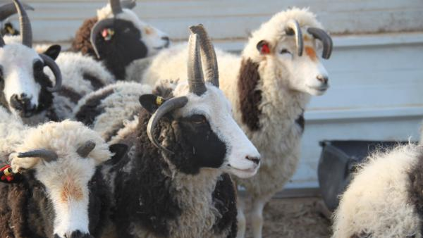 Jacob Sheep got their name in the late 19th century because their spots and speckles match the description in the Book of Genesis of Jacob's flock, according to sheep expert Elisha Gootwine.