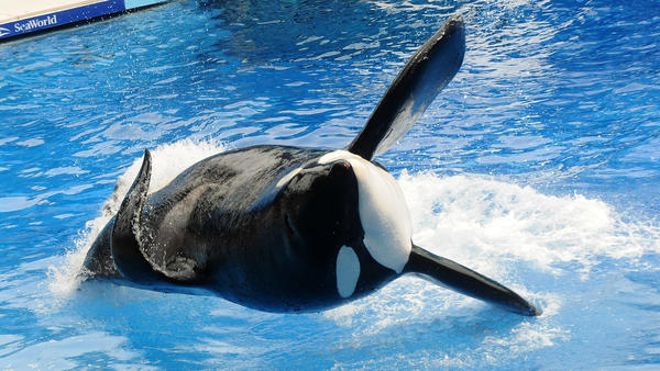 Tilikum performs at SeaWorld Orlando in March 2011. The famous orca has died at an estimated age of 36.