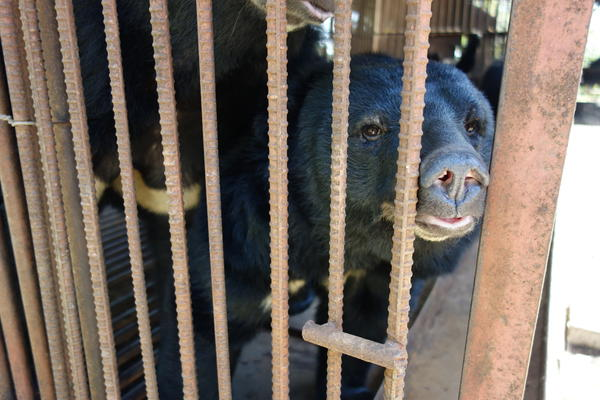 The Asiatic black bear is now an endangered species, after being captured in the wild and farmed for its bile.