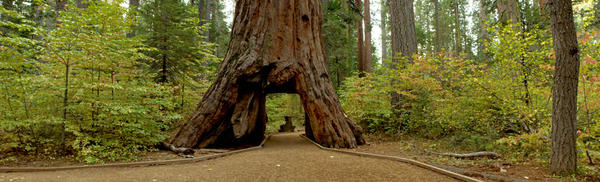 The Pioneer Cabin sequoia in Northern California's Calaveras Big Trees State Park was carved into a tunnel in the late 19th century. It fell on Sunday, brought down by a massive storm.