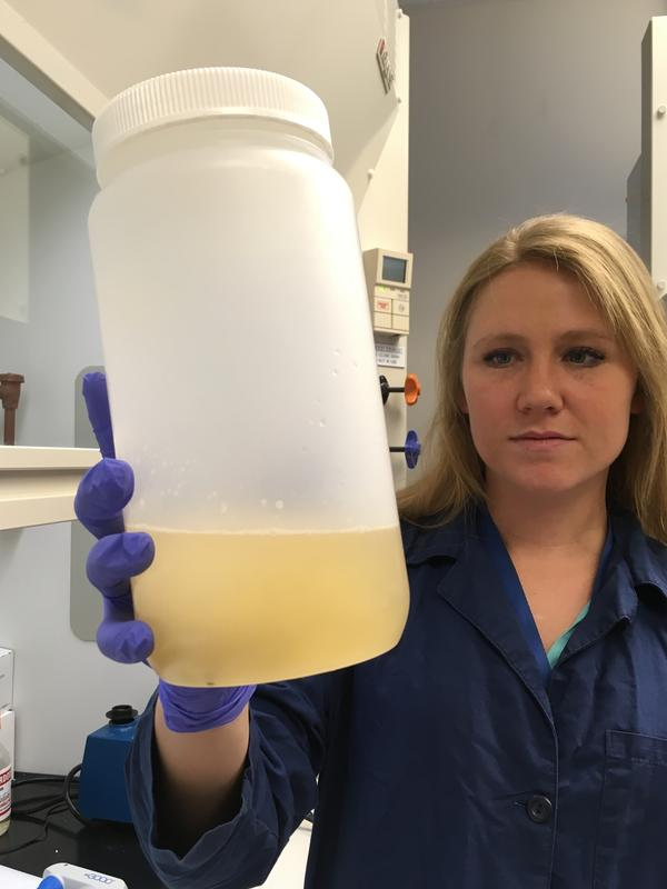 Kelly Williams of the National Wildlife Research Center in Fort Collins checks a sample of dirty water from Texas that she's about to analyze for bits of pig DNA.