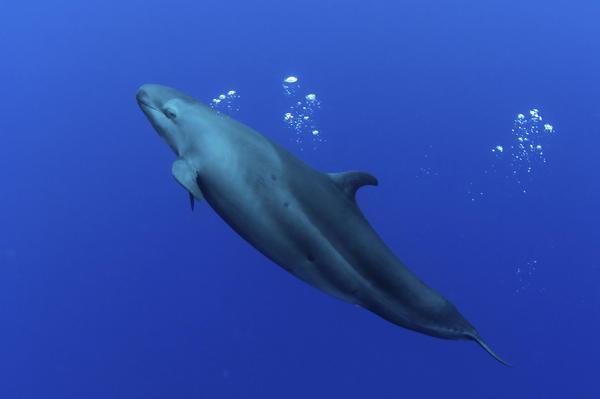 False killer whale.