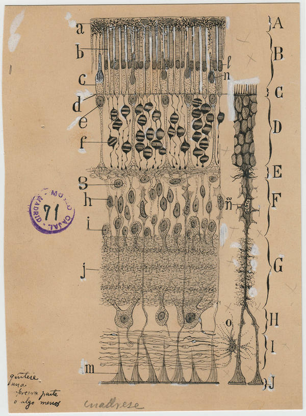In this drawing, Cajal summarizes all the important classes of cells and structural layers in the retina.