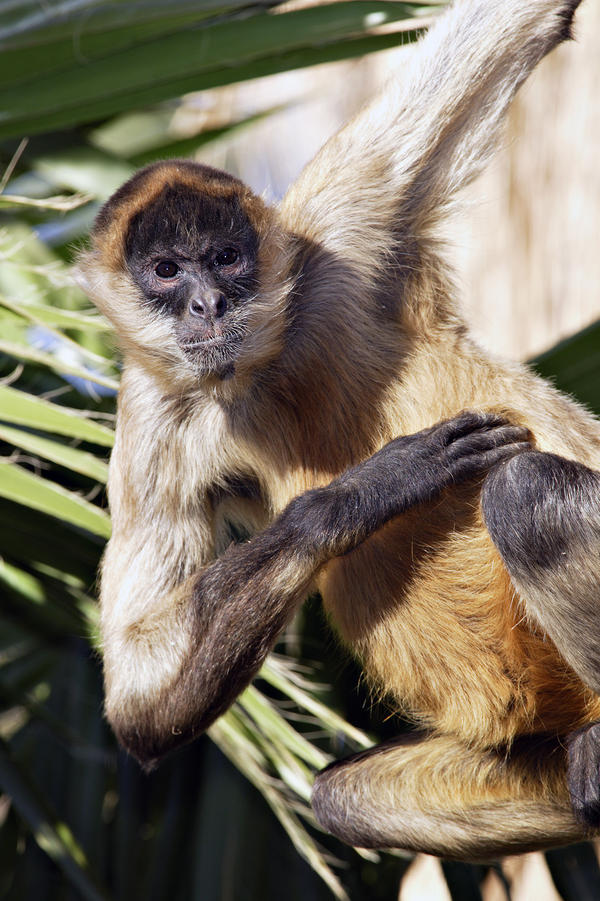 Brown-headed spider monkeys have long, narrow limbs and a prehensile tail that is used as a fifth limb. They are found in the rainforests of Central and South America, including Ecuador.