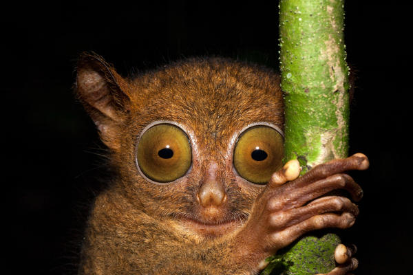 About the size of a rat, the Horsefield's tarsier is a tiny primate. But its eyes are huge! Each one has a volume almost equivalent to that of the animal's entire brain. Recently, scientists found a new type of herpes virus in these tarsiers.