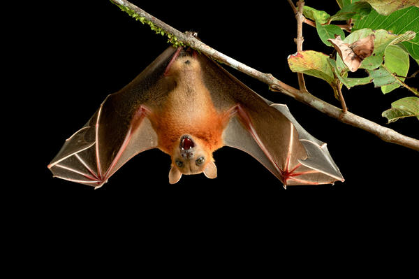 Did you know? Bats are the key pollinators for more than 500 kinds of plants. They keep the rainforest alive.