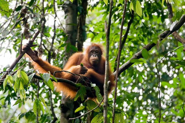 Our close cousins, orangutans carry several viruses that could potentially jump into people and cause outbreaks, including a new herpes virus and a new virus related to polio. In Borneo, orangutan populations are dwindling as their habitat is destroyed. Only about 40,000 individuals remain.