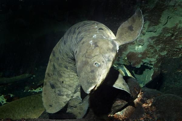 The elderly lungfish had been in Chicago since the 1933 World's Fair.