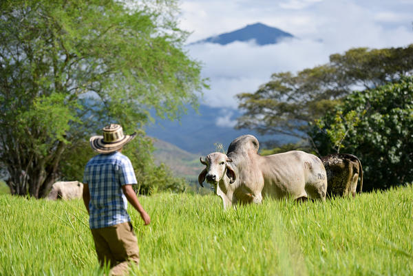 Cattle grazing in southwestern Colombia. This combination of nutritious grasses and trees, known as silvopastoralism, can increase farm production and aid the environment.