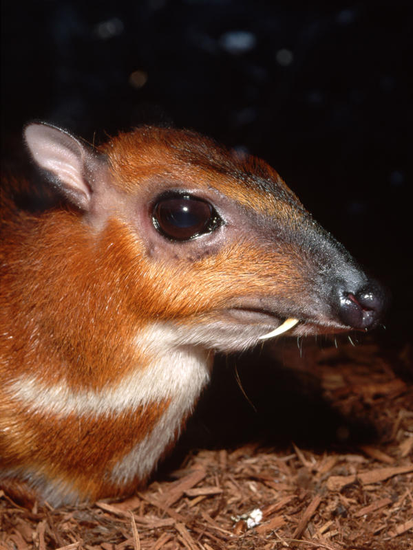 This Malaysian mouse deer is no bigger than a rabbit.