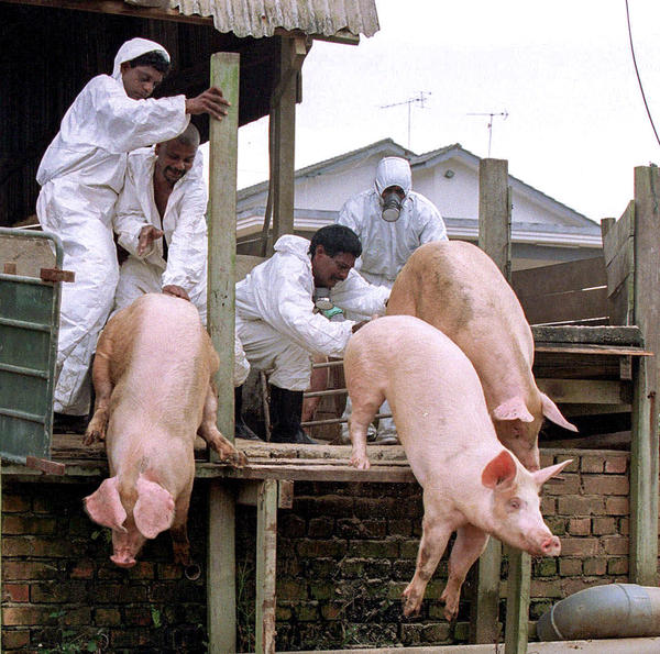 Pig farm workers push live pigs into a large grave in Nipah in 1999. To stop the outbreak, the Malaysian government culled almost 1 million pigs, nearly destroying the country's pork industry.
