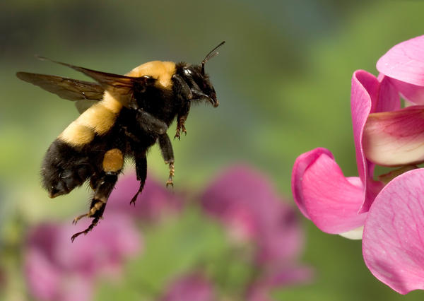 Bumblebees have 100,000 times fewer neurons than humans do, but they can learn new skills quickly when there's a sweet reward at the end.