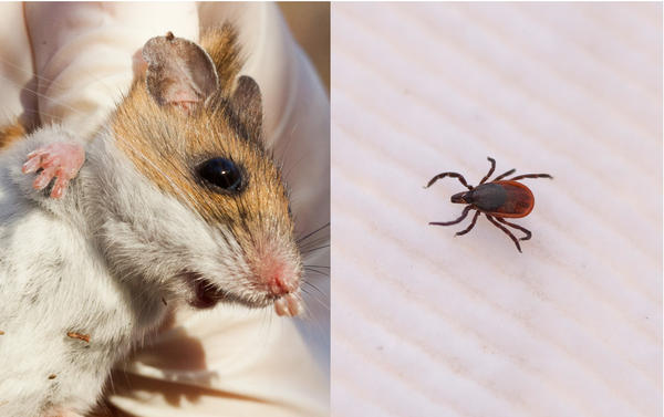Mice and ticks get along swimmingly. Other animals, such as possums, groom away ticks — and sometimes kill them. But white-footed mice tolerate ticks covering their faces and ears. Blacklegged ticks, like the adult female on the right, are tiny — about the size of a sesame seed.