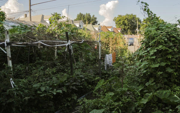 The view from Minara Begum's back door looking into her garden last summer.  Among the crops she's growing are taro leaves, broad beans, purple chilies, amaranth, bitter melon, snake gourd, eggplant and hibiscus leaf.