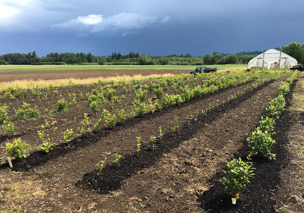 Demand for domestic tea is so strong that Minto Island Tea Co. continues expanding production. Here, <em>Camellia sinensis</em> is planted on the Salem, Ore., farm. It takes three years for tea plants to mature for harvest.