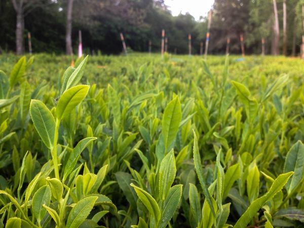 A crop of <em>Camellia sinensis</em> thrives at Minto Island Tea Co.'s Oregon farm.