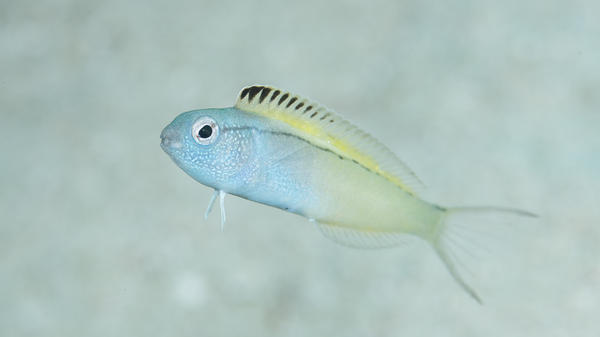 The deceptively adorable fangblenny is only 2 inches long and lives in places like Australia's Great Barrier Reef.