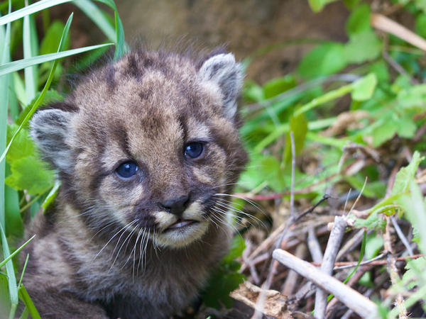 This is mountain lion kitten known as P-54 found in the Santa Monica Mountains National Recreation Area. It is the only known kitten from P-23's third litter, according to the National Park Service.