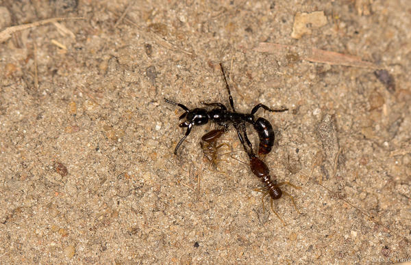 This wounded ant <em>(Megaponera analis),</em> with two termites clinging to it, is alive but likely too exhausted after battle to get back to the nest without help.