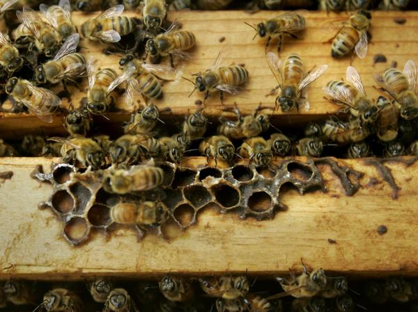 Honeybees are seen inside a colony at the U.S. Department of Agriculture's Bee Research Laboratory in Beltsville, Md., in 2007. Maryland lawmakers approved a bill this week permitting beekeepers to shoot black bears that threaten their hives.