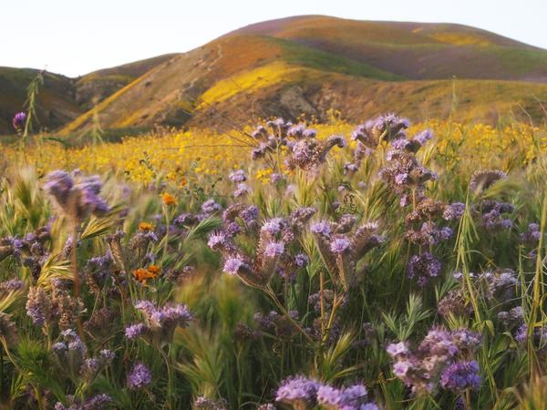 "Wildflowers cover the hills of the Tremblor Range in Carrizo Plain National Monument near Taft, Calif., during a wildflower ""super bloom"" earlier this month."